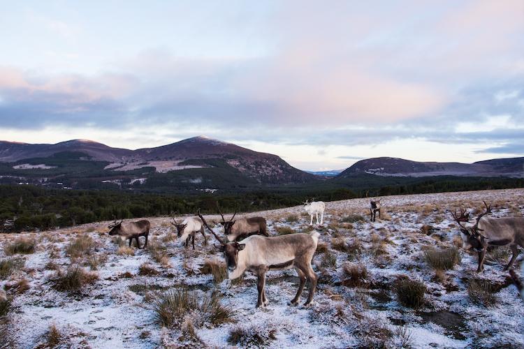 Rendieren in de sneeuw in Cairngorms Schotland