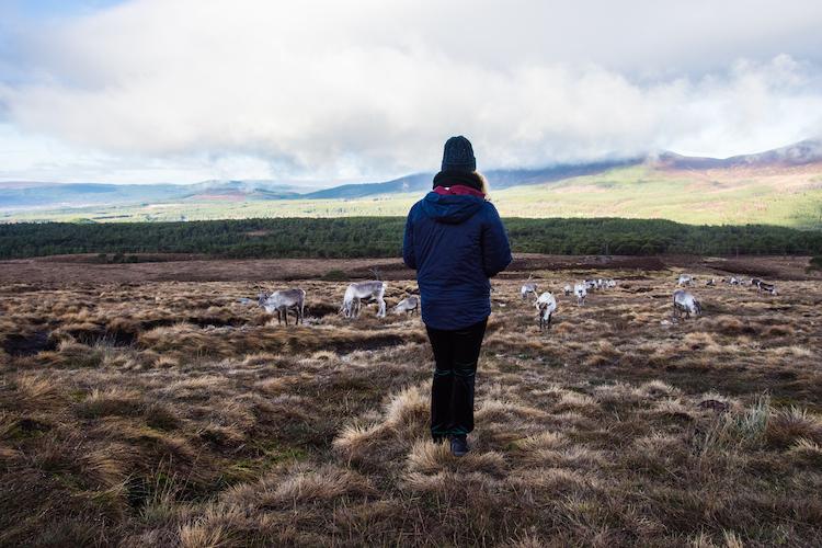 Rendieren kijken in schotland cairngorms