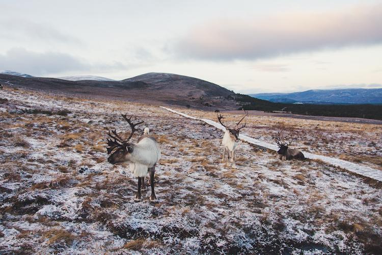 Rendieren langs pad in Schotland Cairngorms Nationaal Park