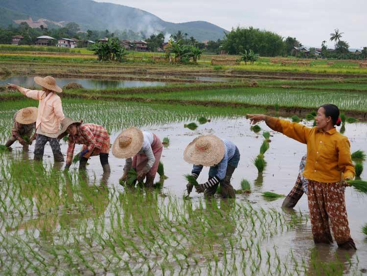 Rijstvelden Inle Lake Myanmar