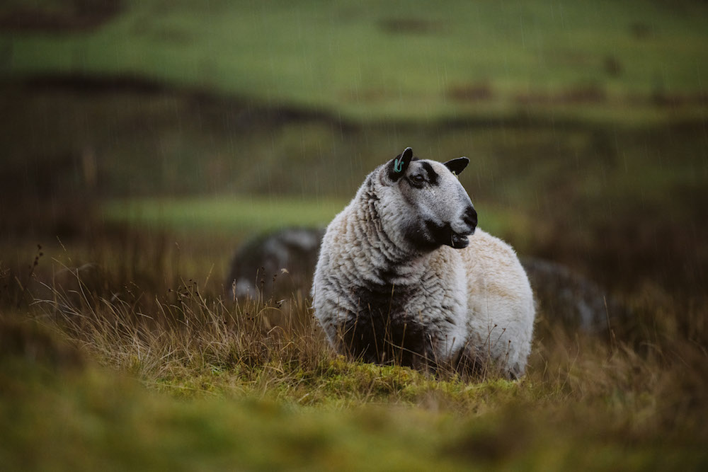 Roadtrip in schotland schapen
