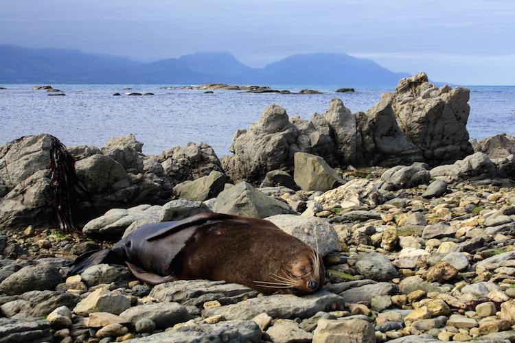 Rondreis Zuidereiland Nieuw-Zeeland hoogtepunten Kaikoura