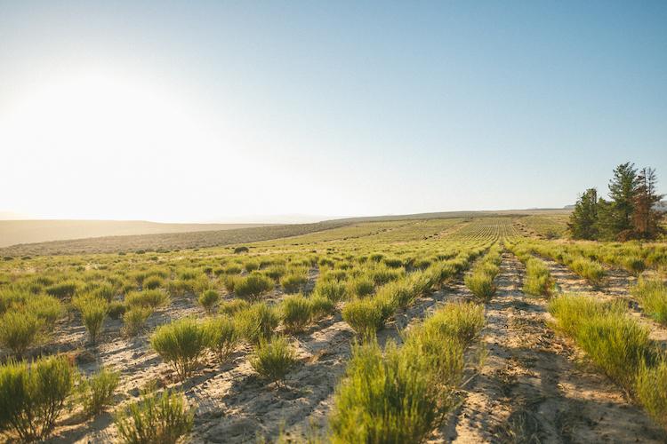 Rooibos gezond velden in cederberg zuid-afrika