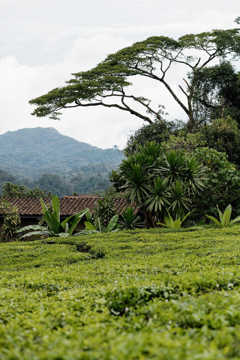 Rwanda thee plantage