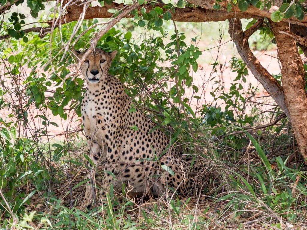 Safari Kenia Ngutuni Sanctuary National Park cheeta