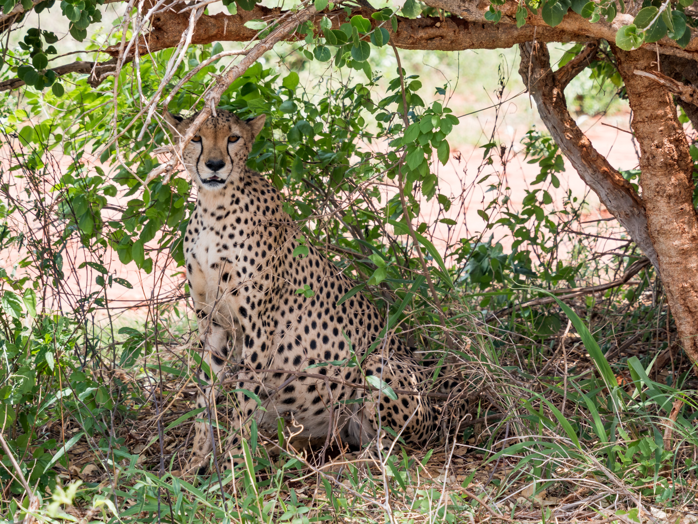 Safari Kenia Ngutuni Sanctuary National Park cheeta