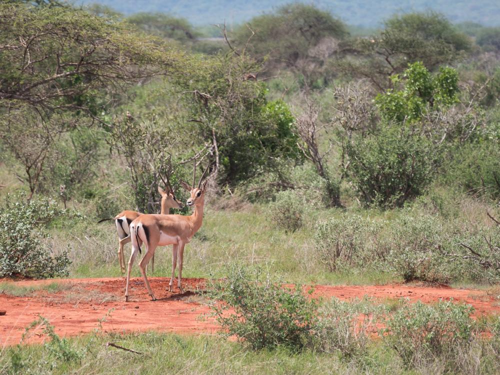 Safari kenia dieren spotten