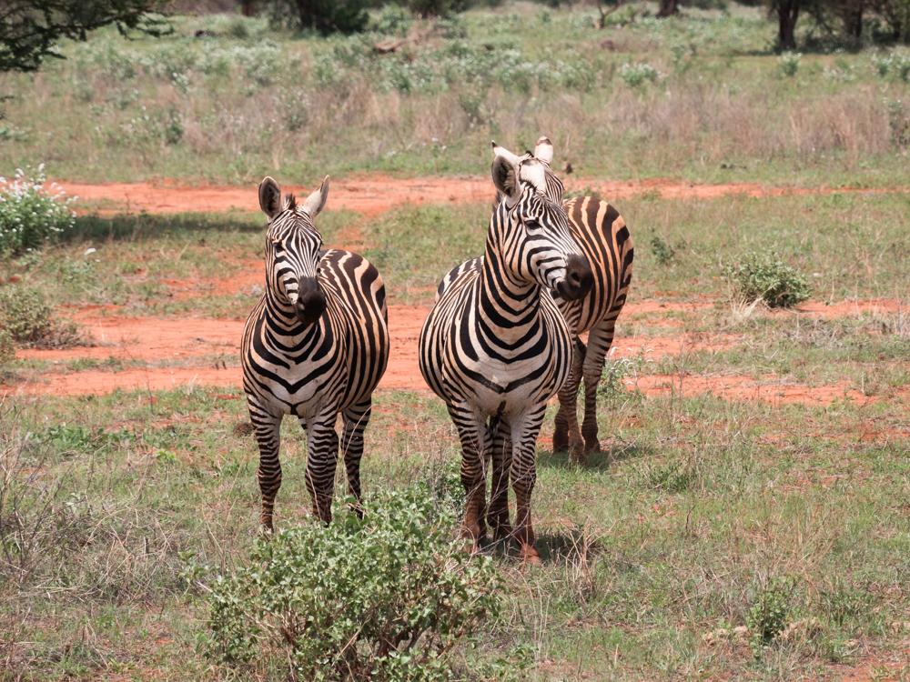 Safari Kenia zebra's