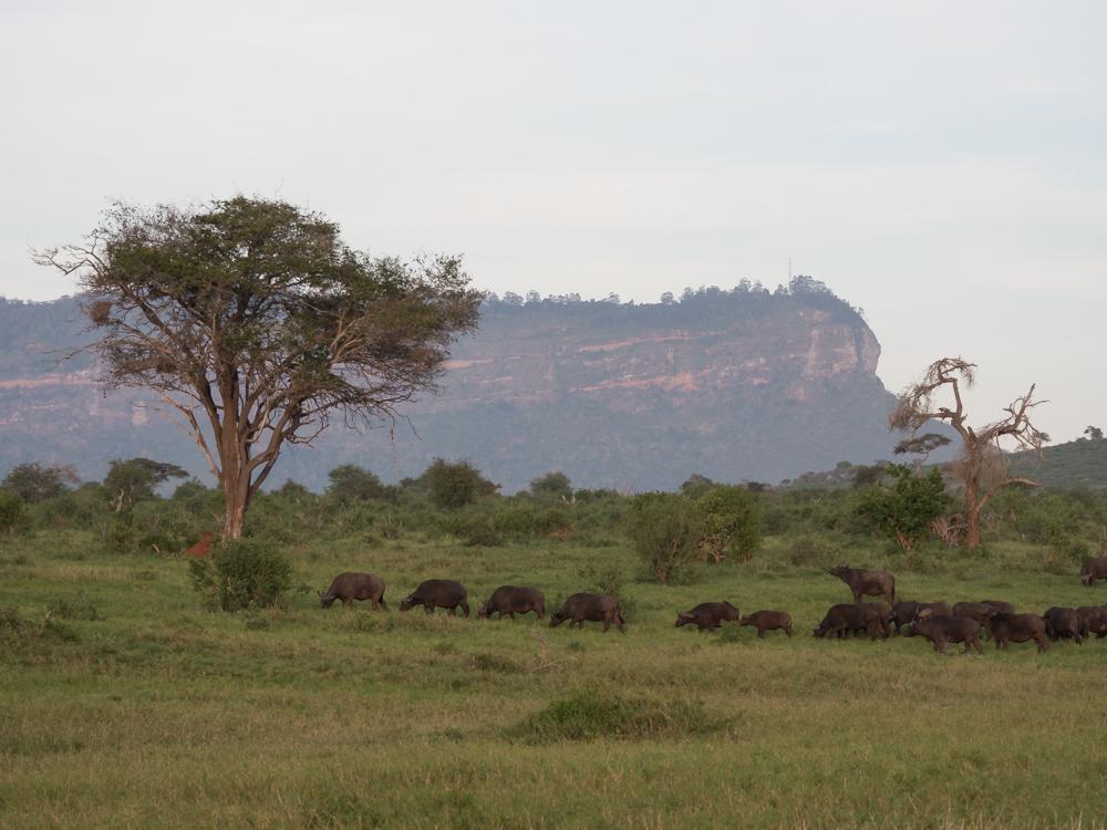 Safari-kenia-buffels-big-five