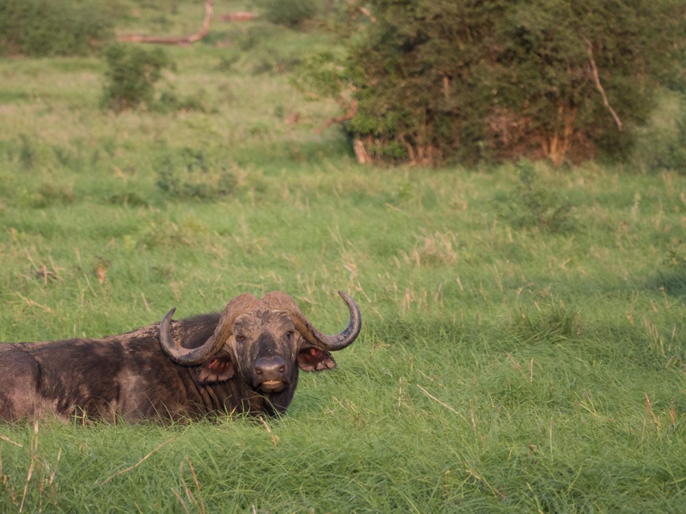 Safari-kenia-buffels-buffalo-big-five