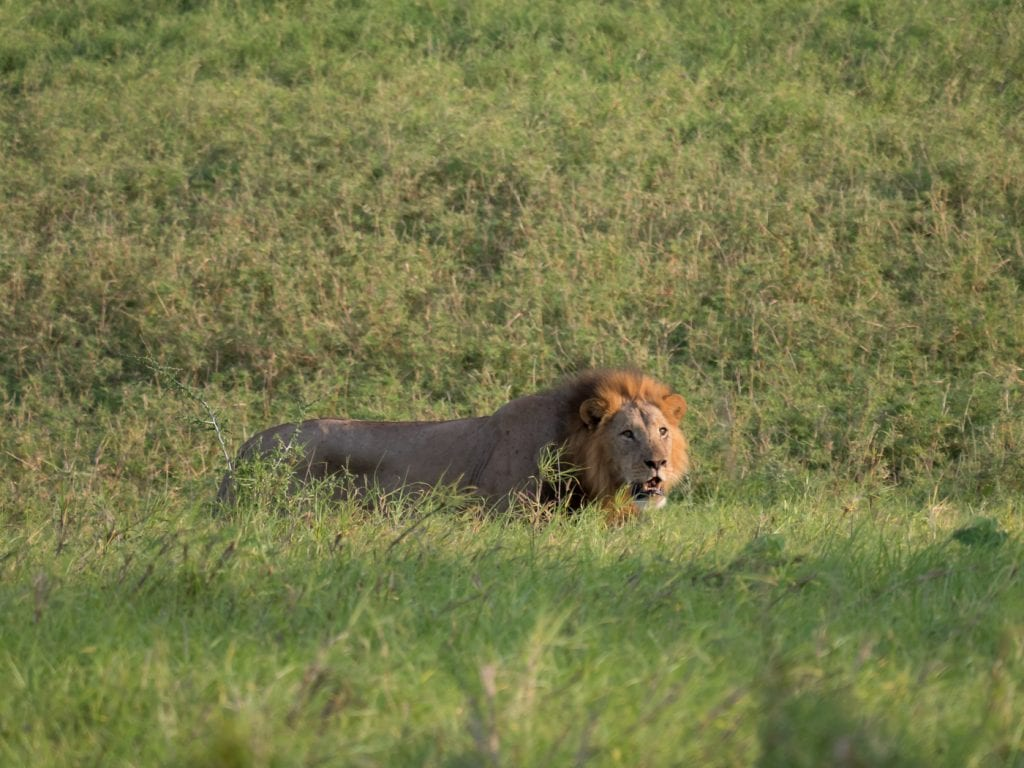 Safari-kenia-leeuw-big-five-salt-lick-lodge