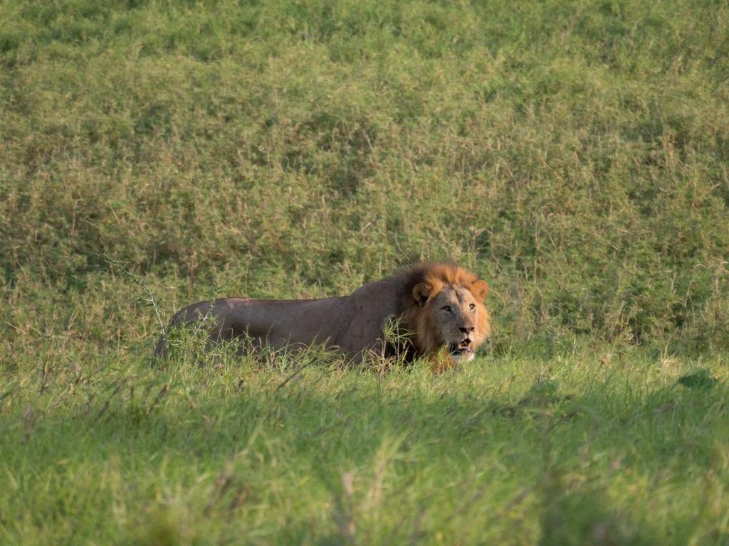 Safari-kenia-leeuw-big-five-salt-lick-lodge