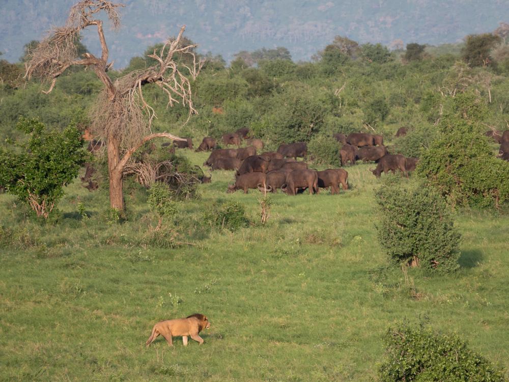 Safari-kenia-leeuw-buffalo-big-five-salt-lick-lodge