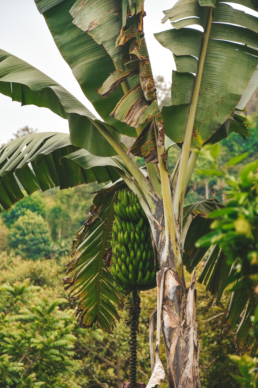 Salento bananen koffieplantage