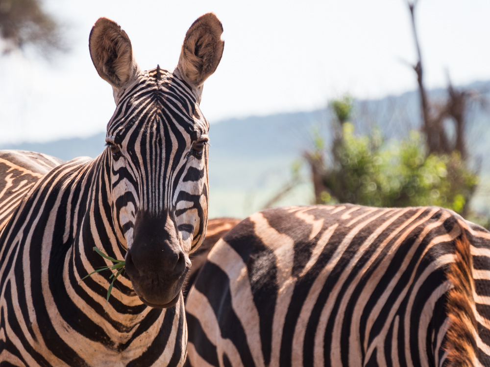 Salt-Lick-Lodge-Taita-Hills-zebras
