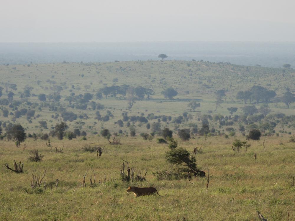 Salt-lick-lodge-safari-in-kenia-vrouwtjes-leeuw-leeuwin