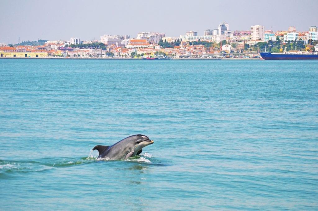 Setubal portugal Sado Dolfijnen