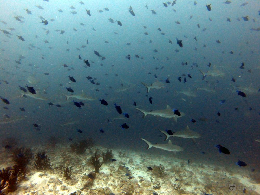 Sharkshow Malediven rashdoo