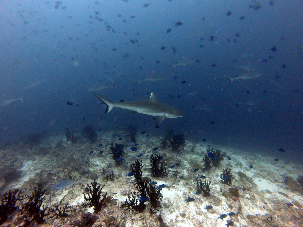 Sharkshow bij de Malediven rashdoo