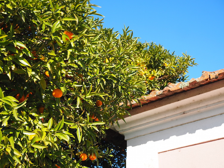 vakantie noord portugal Sinaasappelbomen noord portugal