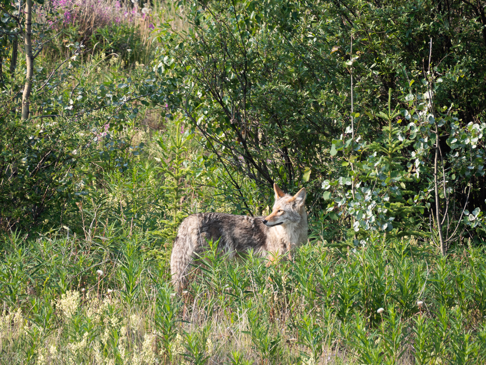 Wildlife south canol road yukon