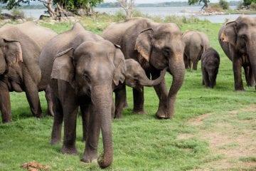 Sri Lanka wilde olifanten