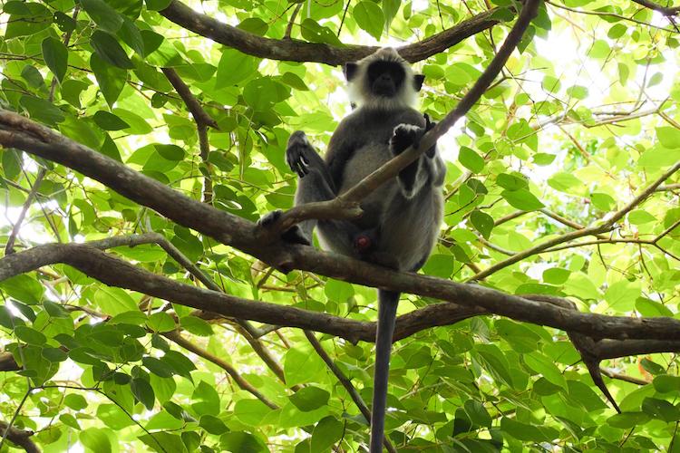 SriLanka apen bomen