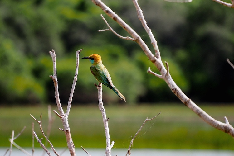SriLanka vogels bird watching