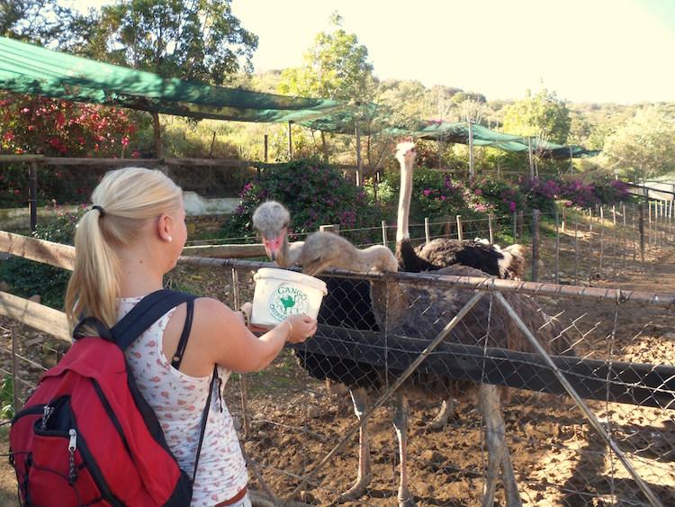 Stops Garden Route struisvogels
