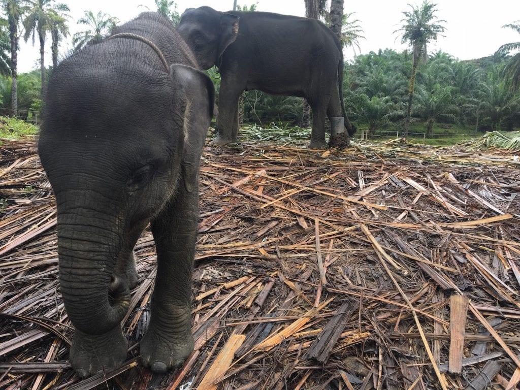 Sumatra jungle olifanten Tangkahan