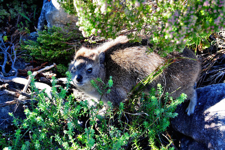 Tafelberg kaapstad dassies