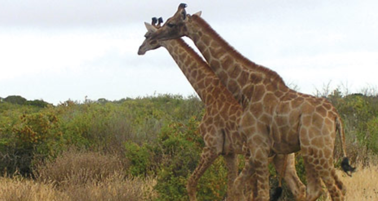 Thali Thali giraffe