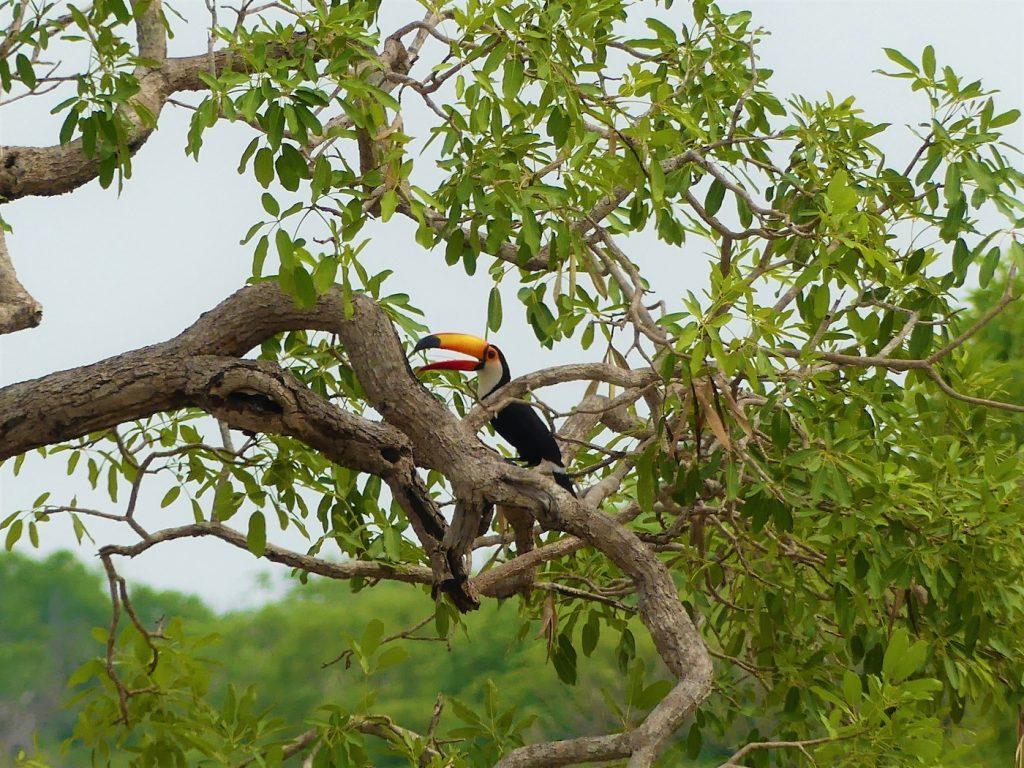 Toekan Pantanal Brazilie
