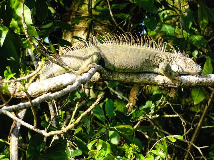 Tortuguero dieren wildlife costa rica backpack route