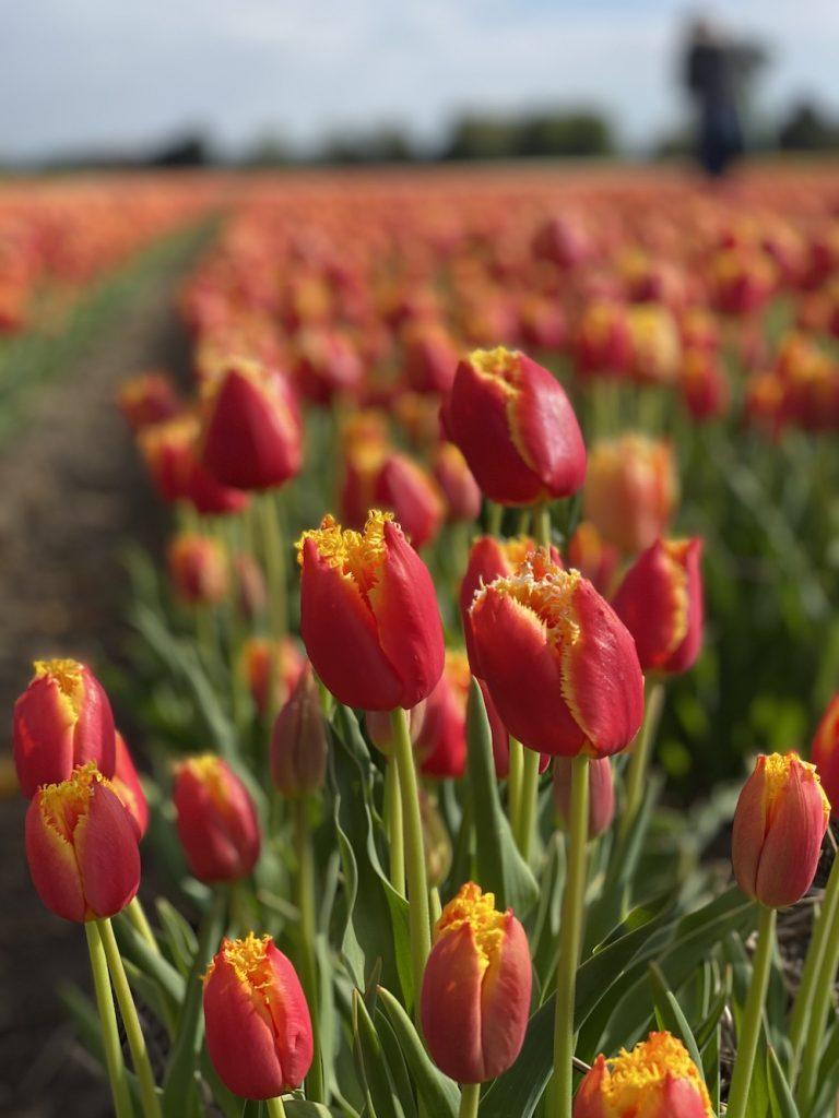 Tulpen bij de boer logeren