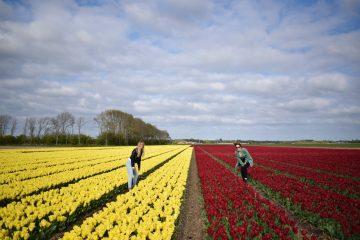 Tulpen castricum logeren bij de boer