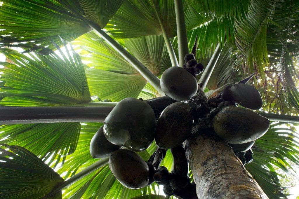 Vallee de Mai Coco de Mer seychellen