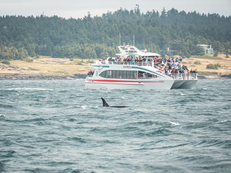 Victoria whale watching tour orca