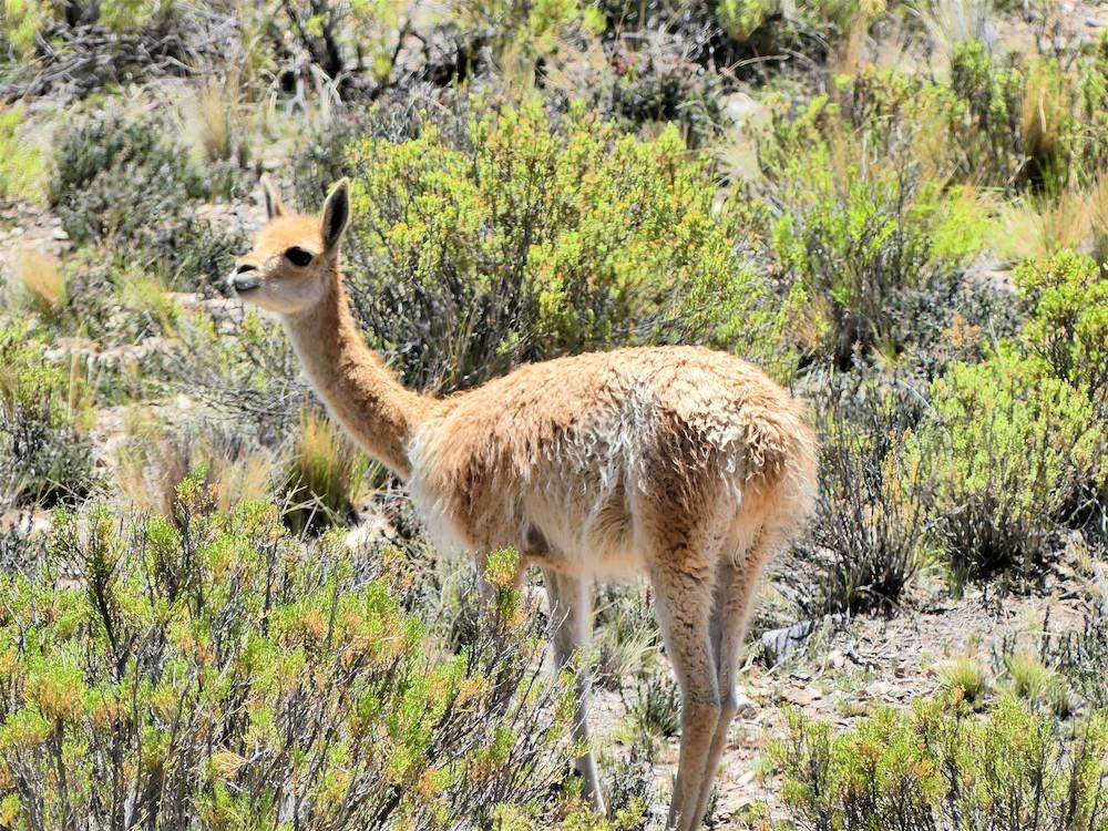 Vicuña in Argentinië