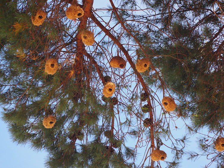 vogelnestjes vogels cederberg zuid afrika