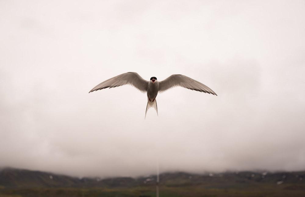 Vogelspotten IJSland