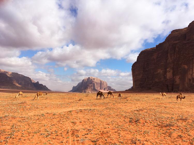 Wadi rum kamelen woestijn