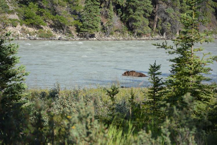 West Canada rondreis beren Jasper national park