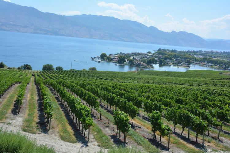 Wijngaarden in kelowna west canada rondreis