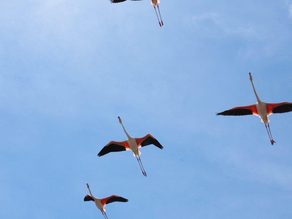 aigues mortes flamingo's frankrijk