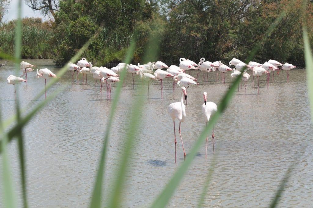 aigues mortes flamingo's frankrijk-2