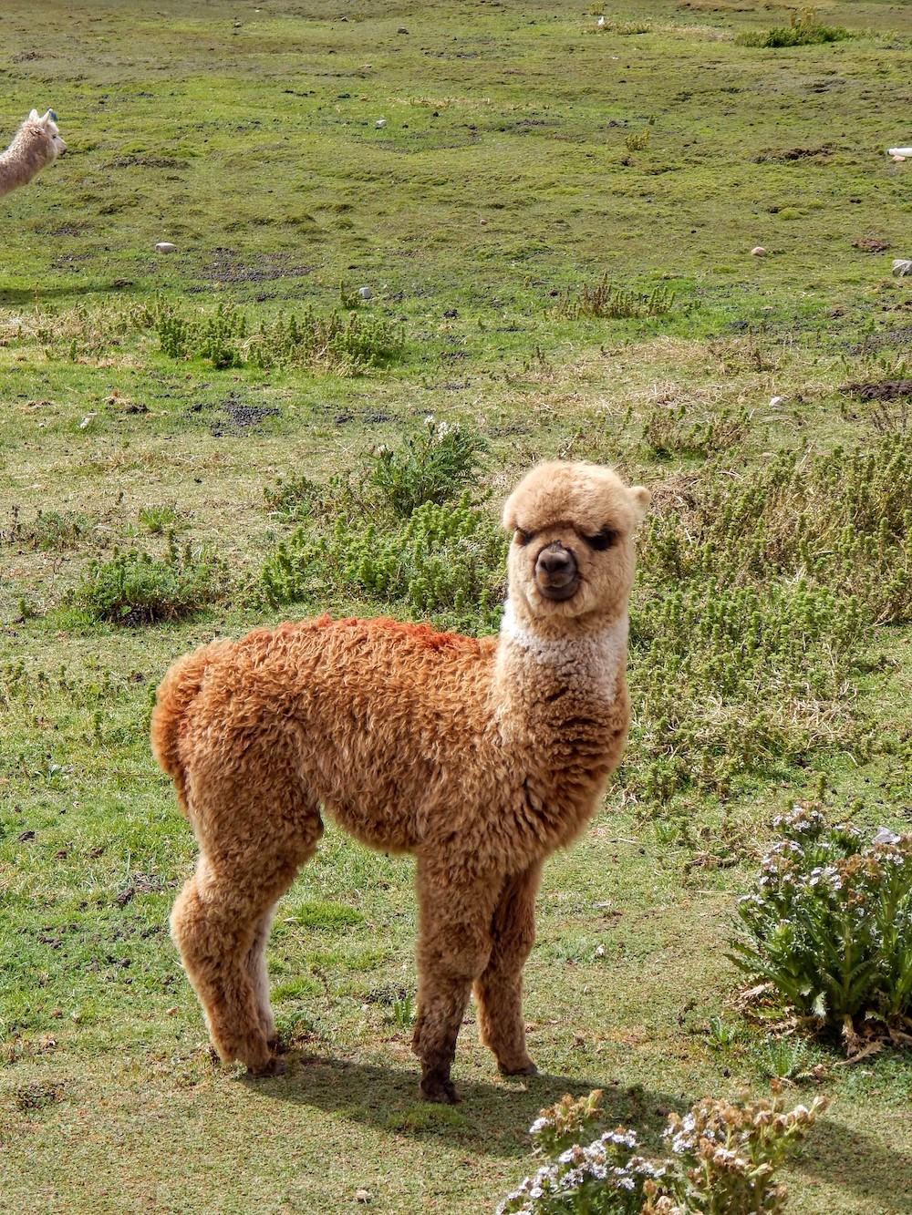 alpaca peru palccoyo