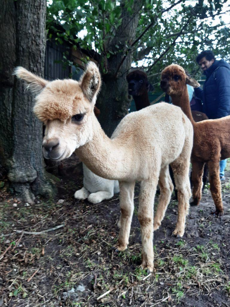 alpaca's knuffelen