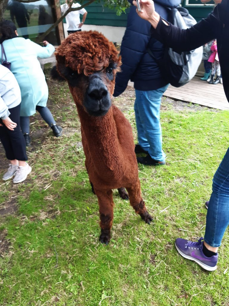 alpaca's knuffelen feed & meet