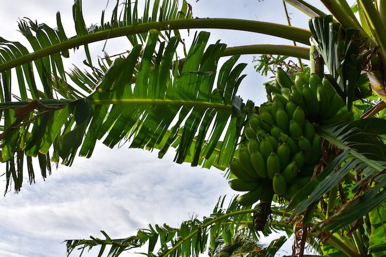 antigua barbuda bananen